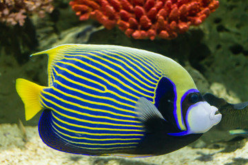 Fototapeta na wymiar Emperor Angelfish (Pomacanthus imperator) also called the Imperator Angelfish