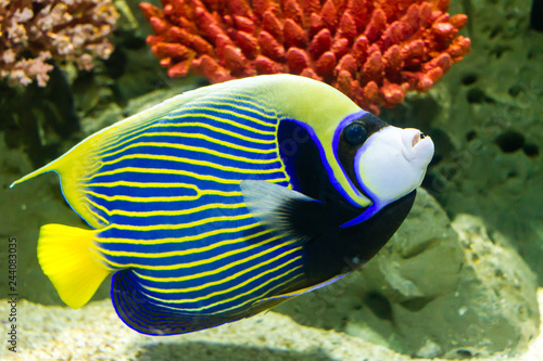 Photo Emperor Angelfish (Pomacanthus imperator)  also called the Imperator Angelfish