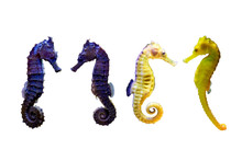 Various Type Of Sea Horse On W...