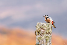 Wild Greater Spotted Woodpecker, Dendrocopos Major, Perching On A Lichen Covered Fencepost In The Scottish Highlands.