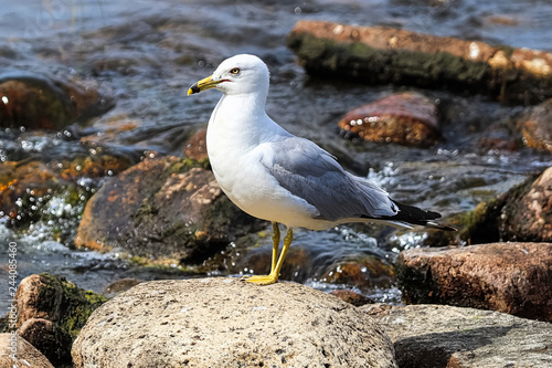 Fotografia  A ring-billed gull standing on rocks by flowing water