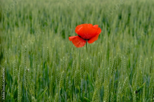 Papavero solitario in un campo