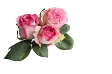 Three Beautiful Pink And White Rose Flowers With Leaves Isolated Over A White Background With Clipping Path Included.
