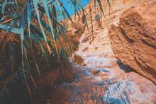 Oasis In Desert.  Bamboo Trees Against Sandstone Mount, Ein Gedi Nature Reserve. Israel