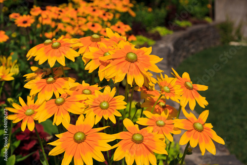 Valokuva  Yellow Centered Black Eyed Susan Flowers Blooming