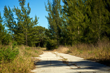 An Empty Deserted Abandoned Paved Road Is Over Grown With Weeds And Flanked  By Pine Trees In Southwest Florida.