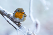 European Robin Bird Erithacus Rubecula In Winter Snow