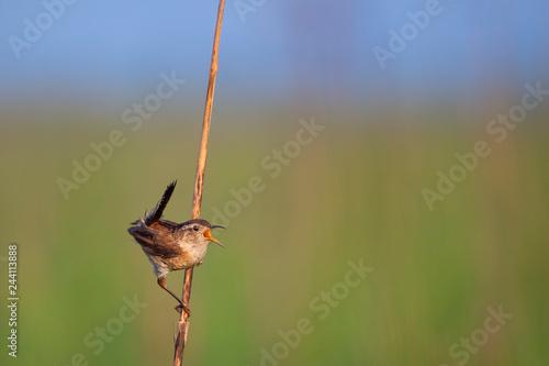 Valokuva  Calling Out Marsh Wren