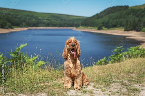 Cocker Spaniel Walk in the Peak District Fototapet