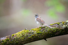 Sparrow On A Mossy Log
