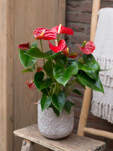 Red Flower Plant In A Pot Isol...