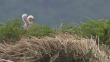 Bald Eagle Chicks Katmai Natio...