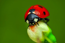Beautiful Ladybug On Leaf Defocused Background
