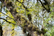 Tillandsias In A Tree On The N...