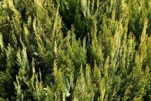 Lawson Cypress ( Chamaecyparis...