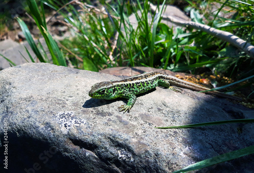 Photographie green lizard