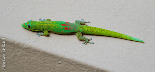 Gold Dust Day Gecko in Maui