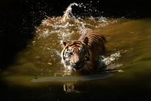 Sumatran Tigers Are Swimming