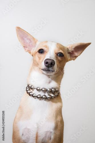 Fototapeta dog on white background obraz na płótnie