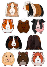 Collection Of Guinea Pig