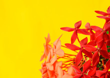 Ixora Flower With Macro Close Up On Yellow Backgrounds