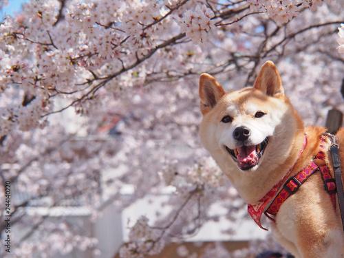春が来た 柴犬スマイル Poster Mural XXL