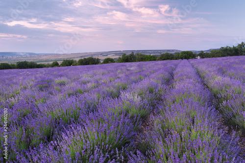 Fototapeta Meadow of lavender at sunset. obraz na płótnie