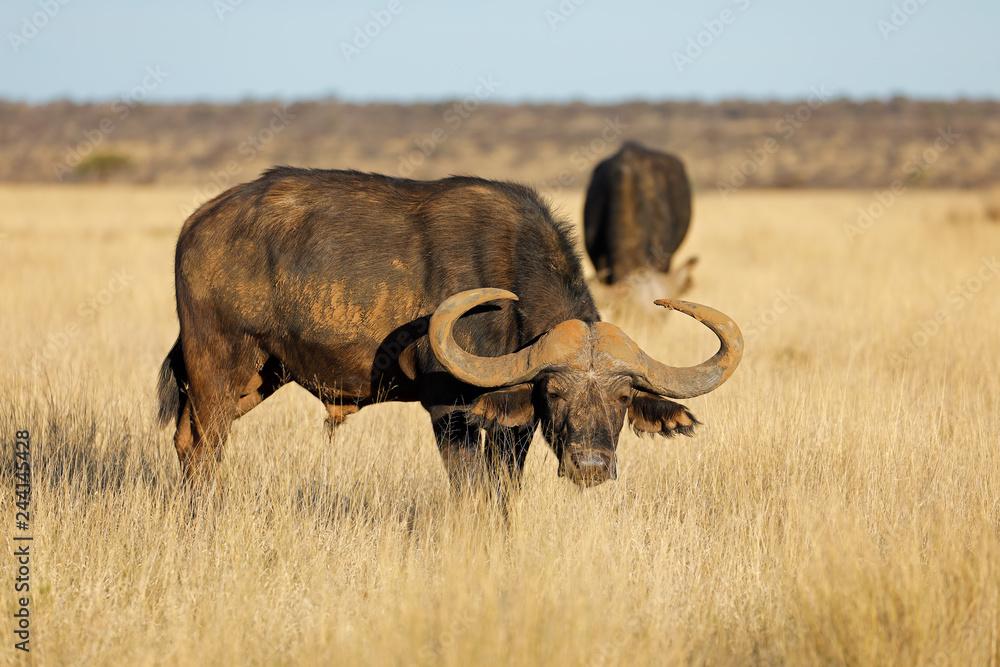 Fototapeta African buffalo in grassland