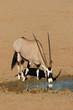 canvas print picture - Gemsbok antelope drinking water