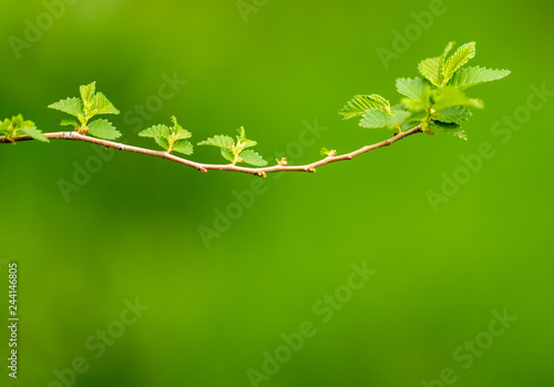 Poster Printemps Young green leaves on a tree in spring