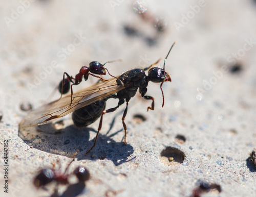 Fotografie, Tablou  Ant with wings on the ground