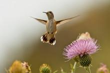 Calliope Hummingbird (Selaspho...