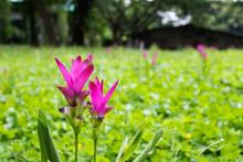 Siam Tulip Or Curcuma Sessilis In The Meadow