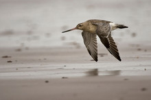 Bar-tailed Godwit (Limosa Lapp...