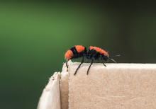 Cow Killer/Wingless Wasp