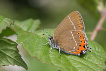 A Beautiful Rare Black Hairstreak Butterfly (Satyrium Pruni) Perched On A Blackberry Leaf In Woodland.