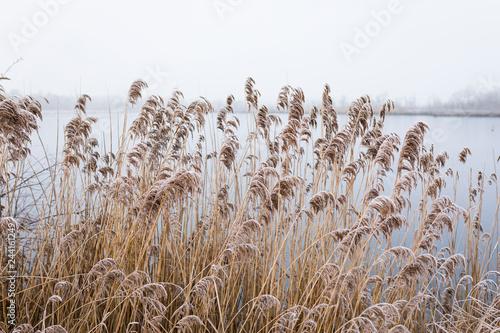 Frozen reed along a lake, wetlands national park de Groote Peel Netherlands Fotobehang