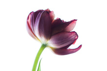 Purple Tulip Flower On White B...