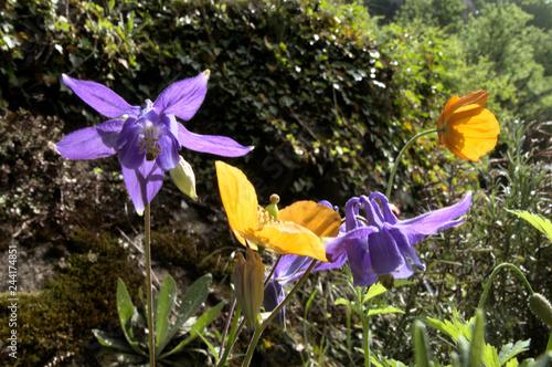 Fotografie, Obraz  Purple Aquilegia and Californian Poppy in Swiss informal garden, Walenstadt