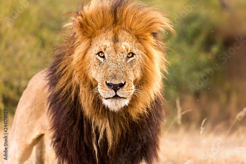 Naklejki lew  lowe-starker-blick-auge-in-auge-mit-einem-lowen-konig-in-der-savanne