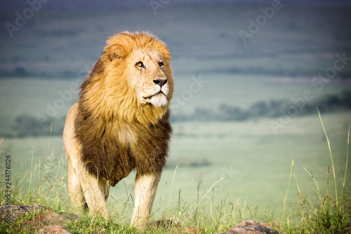 Zdjęcie XXL Lion - Dumny król lew w bezkresie sawanny