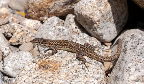 Iberian wall lizard, Podarcis hispanica, on a rock. Photo taken next to the Minchones Stream, in the region of La Vera, Caceres, Extremadura, Spain