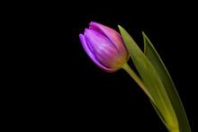 Purple Tulip On Black Background