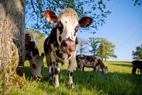 Poster de jardin Vache Troupeau de vaches Normande au pré