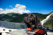Black Labrador Retriever Dog Wearing A Life Jacket In A Boat