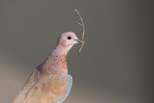 A Mourning Dove Perched On A L...