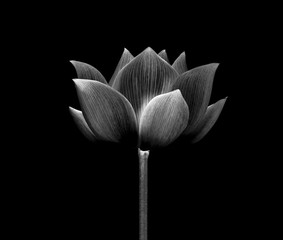 lotus isolated on white background.