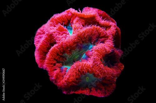 Naklejka premium Blastomussa LPS kolorowy koral - Blastomussa wellsi