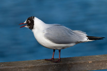 Black-headed Gull Spring Portrait