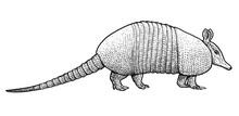 Armadillo Illustration, Drawin...